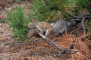 Chickaree or Pine Squirrel (Tamiasciurus douglasii) gathering pine cones for the winter months. Rocky Mountain National Park, Colorado, USA. October.  -  Charlie Summers