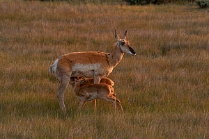 American pronghorn antelope (Antelocapra americana) sucklng her twin fawns, North Park, Colorado, USA. July.  -  Charlie Summers