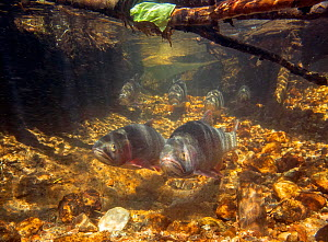 Two Greenback cutthroat trout (Oncorhynchus clarkii stomias) moving upstream in spawning run, Neota Wilderness Area, Colorado, USA.  -  Charlie Summers