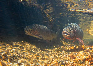 Two Greenback cutthroat trout (Oncorhynchus clarkii stomias) in spawning stream prior to continuing upstream. Neota Wilderness Area, Colorado, USA.  -  Charlie Summers