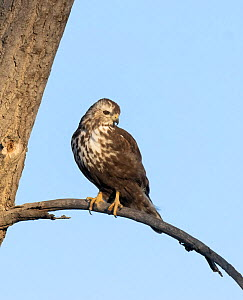 Harlan's hawk (Buteo jamaicensis harlani) juvenile, perched on a branch above the Platte River, Denver, Colorado, USA. February.  -  Charlie Summers