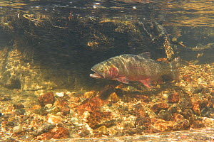 Greenback cutthroat trout (Oncorhynchus clarkii stomias) swimming with its mouth open. Fish do this to take in more water across their gills hence they derive more oxygen from that water flow. Neota W...  -  Charlie Summers