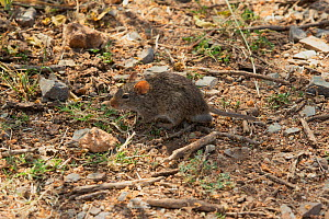 African grass rat (Arvicanthis niloticus) foraging at the base of some aloe plants. Serengeti, Tanzania  -  Charlie Summers