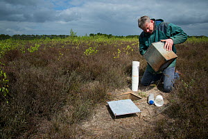 Researcher emptying pitfall trap used to collect Ground beetles (Carabidae). Long-term monitoring has revealed a 72 percent reduction in Ground beetle numbers in past 22 years. Dwingelderveld National...  -  Edwin Giesbers