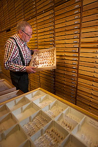 Entomologist looking at pinned Moth (Lepidoptera) specimens in collection. Nature Museum Brabant, Tilburg, The Netherlands. 2019.  -  Edwin Giesbers