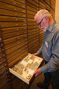 Entomologist looking at pinned Insect specimens in collection. Nature Museum Brabant, Tilburg, The Netherlands. 2019.  -  Edwin Giesbers