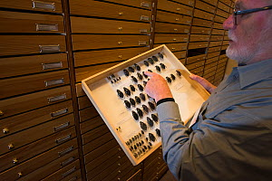 Entomologist looking at pinned Water scavenger beetle (Hydrophilus spp) specimens in collection. Nature Museum Brabant, Tilburg, The Netherlands. 2019.  -  Edwin Giesbers