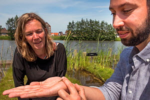 Ecotoxicologist holding Damselfly nymph from experiment looking at impact of neonicotinoid insecticide thiacloprid on aquatic invertebrates. The number of Blue-tailed dragonflies (Ischnura elegans) re...  -  Edwin Giesbers