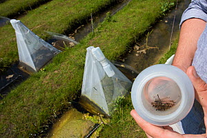 Sample of Insects from emergence trap over trial ditch exposed to thiacloprid, a neonicotinoid. Organisms found to be 2500 times more sensitive to the insecticide in the natural environment than in a...  -  Edwin Giesbers