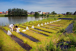 Researchers sampling aquatic invertebrates in trial ditches exposed to thiacloprid, a neonicotinoid. Organisms found to be 2500 times more sensitive to the insecticide in the natural environment than...  -  Edwin Giesbers