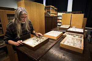 Entomologist examining pinned Insect specimens within collection. Entomological Society Krefeld. Germany 2019.  -  Edwin Giesbers