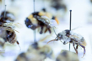 Bumblebee (Bombus), pinned specimens in collection of Entomological Society Krefeld. Germany 2018.  -  Edwin Giesbers