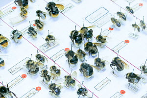 Bumblebee (Bombus) and Honeybee (Apis), pinned specimens in collection of Entomological Society Krefeld. Germany 2018.  -  Edwin Giesbers