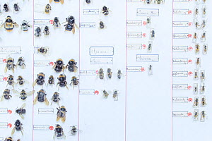 Bees including Bumblebee (Bombus), Mason bee (Osmia) and Honeybee (Apis), pinned specimens in collection of Entomological Society Krefeld. Germany 2018.  -  Edwin Giesbers