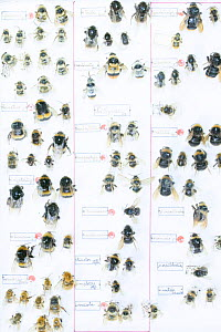 Bumblebee (Bombus spp), pinned specimens in collection of Entomological Society Krefeld. Germany 2018.  -  Edwin Giesbers