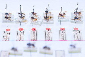 Pinned Insect specimens in collection of Entomological Society Krefeld. Germany 2018.  -  Edwin Giesbers