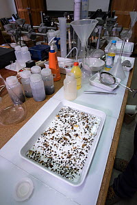 Tray of insects collected by Entomological Society Krefeld. Long-term monitoring has revealed a 75% decline in insect biomass over 27 years. Germany, May 2018.  -  Edwin Giesbers