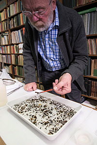 Entomologist sorting through tray of collected insects. Long-term monitoring by the Entomological Society Krefeld has revealed a 75% decline in insect biomass over 27 years. Germany, May 2018.  -  Edwin Giesbers