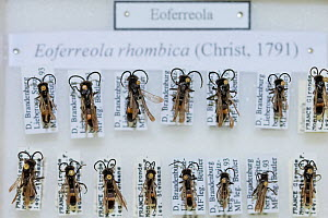 Spider wasp (Eoferreola rhombica), pinned specimens in collection of Entomological Society Krefeld. Germany 2018.  -  Edwin Giesbers