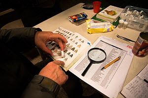 Identification of Moth with aid of guide during insect trapping and identification session. Long-term monitoring has revealed a 50% decline in moths over 25 years. De Kaaistoep Nature Reserve, Tilburg...  -  Edwin Giesbers