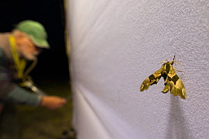 Lime hawk-moth (Mimas tiliae) on sheet during insect trapping and identification session, researcher in background. Long-term monitoring has revealed a 50% decrease in moth numbers in 25 years. De Kaa...  -  Edwin Giesbers