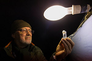 Researcher examining moth attracted to light during insect trapping and identification session. Long-term monitoring has revealed a 50% decrease in moth numbers in 25 years. De Kaaistoep Nature Reserv...  -  Edwin Giesbers