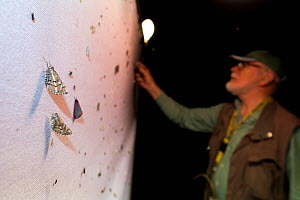 Moths resting on sheet, attracted by light during trapping and identification session, researcher in background. Long-term monitoring has revealed a 50% decline in moths over 25 years. De Kaaistoep Na...  -  Edwin Giesbers