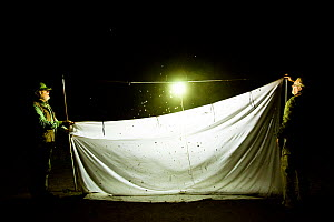 Naturalists putting up white sheet to catch insects attracted to light during insect trapping and identification session. Long-term monitoring has revealed a 50% decrease in moth numbers in 25 years....  -  Edwin Giesbers