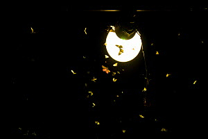Moths (Lepidoptera) attracted to light during insect trapping and identification session. Long-term monitoring has revealed a 50% decrease in moth numbers in 25 years. De Kaaistoep Nature Reserve, Til...  -  Edwin Giesbers