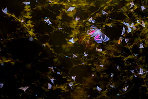 Moths (Lepidoptera) swarming with flight trails, attracted by light during insect trapping and identification session. Long-term monitoring in De Kaaistoep Nature Reserve, Tilburg, The Netherlands. Ju...  -  Edwin Giesbers