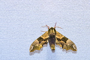 Lime hawk-moth (Mimas tiliae) on cloth, attracted to light during insect trapping session. Long-term monitoring has revealed a 50% decrease in moth numbers in 25 years. De Kaaistoep Nature Reserve, Ti...  -  Edwin Giesbers