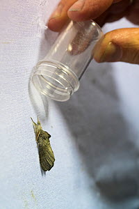 Ecologist capturing moth in tube for identification, moth attracted to sheet by artificial light. Long-term monitoring has revealed a 50% decrease in moth numbers in 25 years. De Kaaistoep Nature Rese...  -  Edwin Giesbers