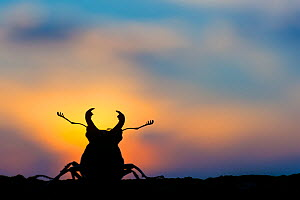Stag beetle (Lucanus cervus) silhouetted at sunset. The Netherlands. August.  -  Edwin Giesbers