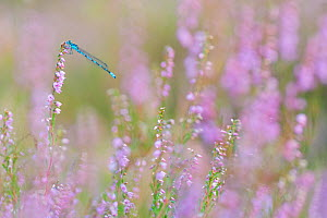 Small emerald damselfly (Lestes virens) resting on Common heather (Calluna vulgaris). The Netherlands. August.  -  Edwin Giesbers