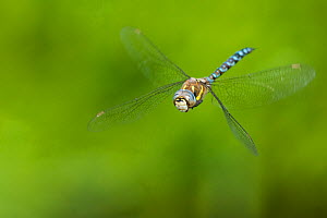 Migrant hawker dragonfly (Aeshna mixta) in flight, hovering. The Netherlands. August.  -  Edwin Giesbers