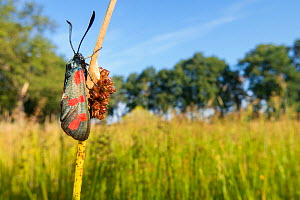 Six-spot burnet moth (Zygaena filipendulae) resting on Rush in marshy grassland. The Netherlands. July.  -  Edwin Giesbers