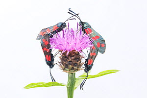 Six-spot burnet moth (Zygaena filipendulae), two pairs mating on Knapweed (Centaurea nigra). The Netherlands. June.  -  Edwin Giesbers