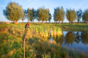 Southern hawker dragonfly (Aeshna cyanea) resting on stem beside lake. The Netherlands. July.  -  Edwin Giesbers