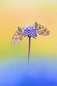 Small pearl bordered fritillary butterfly (Boloria selene), two resting on Scabious. The Netherlands. July.  -  Edwin Giesbers