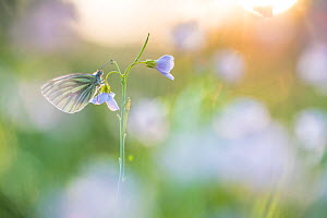 Green-veined white butterfly (Pieris napi) on Cuckooflower (Cardamine pratensis) in evening light. The Netherlands. March.  -  Edwin Giesbers