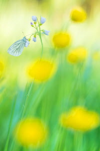 RF - Green-veined white butterfly (Pieris napi) on Cuckooflower (Cardamine pratensis), in meadow amongst Buttercup (Ranunculus sp) flowers. The Netherlands. March. (This image may be licensed either a...  -  Edwin Giesbers