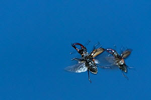 Stag beetle (Lucanus cervus), two males flying in search of females. The Netherlands. June.  -  Edwin Giesbers