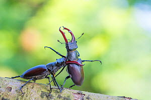 RF - Stag beetle (Lucanus cervus), two males fighting. The Netherlands. June. (This image may be licensed either as rights managed or royalty free.)  -  Edwin Giesbers
