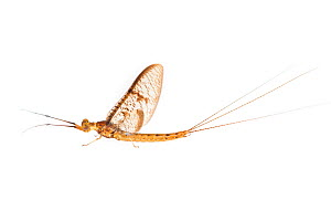 Mayfly (Ephemera glaucops). The Netherlands. May. Controlled conditions.  -  Edwin Giesbers