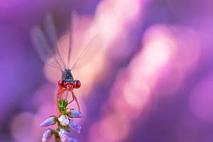 Small red damselfly (Ceriagrion tenellum) resting on Heather flower. The Netherlands. August.  -  Edwin Giesbers