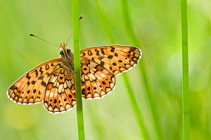 Small pearl bordered fritillary butterfly (Boloria selene) resting on stem. The Netherlands. August.  -  Edwin Giesbers