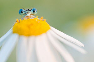RF - White-legged damselfly (Platycnemis pennipes) peering over Oxeye daisy (Leucanthemum vulgare) flower. The Netherlands. August. (This image may be licensed either as rights managed or royalty free...  -  Edwin Giesbers