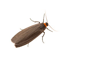 Red-necked footman moth (Atolmis rubricollis). De Kaaistoep Nature Reserve, Tilburg, The Netherlands. April. Controlled conditions.  -  Edwin Giesbers