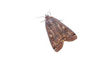 Large yellow underwing moth (Noctua pronuba). De Kaaistoep Nature Reserve, Tilburg, The Netherlands. April. Controlled conditions.  -  Edwin Giesbers