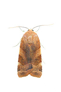 RF - Broad-bordered yellow underwing moth (Noctua fimbriata). De Kaaistoep Nature Reserve, Tilburg, The Netherlands. June. Controlled conditions. (This image may be licensed either as rights managed o...  -  Edwin Giesbers